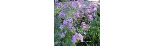 Monivuotiset puutarhakukat ja luonnonkasvit - YP