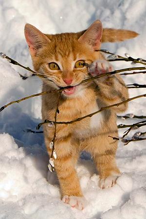 kissa latinaksi