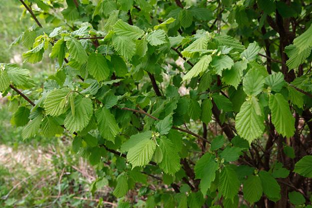 Pähkinäpensas Suomessa