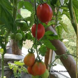 Tomaatti, talvitomaatti 'Pomodorino del Piennolo del Vesuvio' YLLÄPITOVILJELY-KANTA
