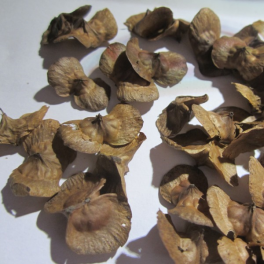 Japaninsiipipähkinä