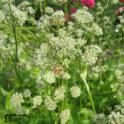 Valkoinen kukkatarha
