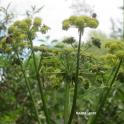 Kasvimaan kookkaat kukkijat