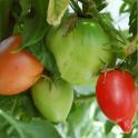 "Tomaatti ""Simo"" YLLÄPITOVILJELY-KANTA"