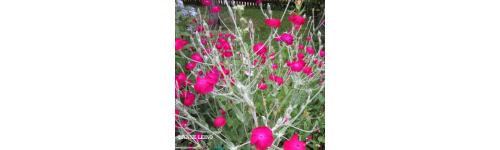 Monivuotiset kasvit